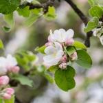 Ribes Bio Apfelsaft Blüte am Baum